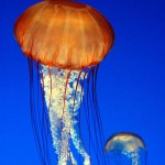 "Jellyfish -""Ready for Action"""